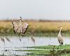Dancing with Cranes