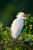 Cattle egret, Wakodahatchee Wetlands