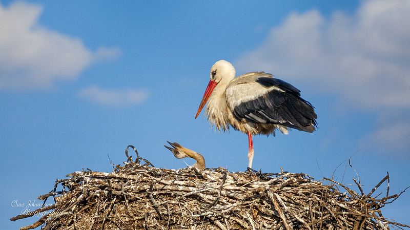 White Stork with juvenile
