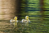Canada Goose goslings swimming in a lake with a nice reflection and ripples in the water.