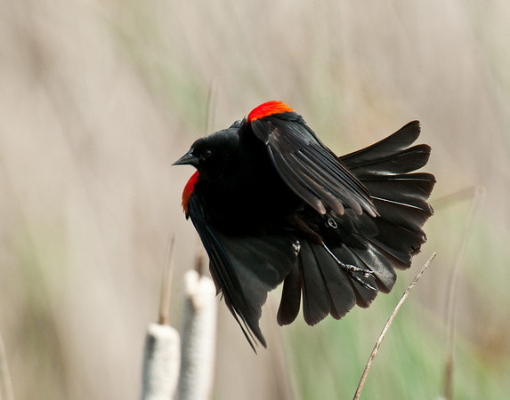Red Winged Blackbird Takes Off