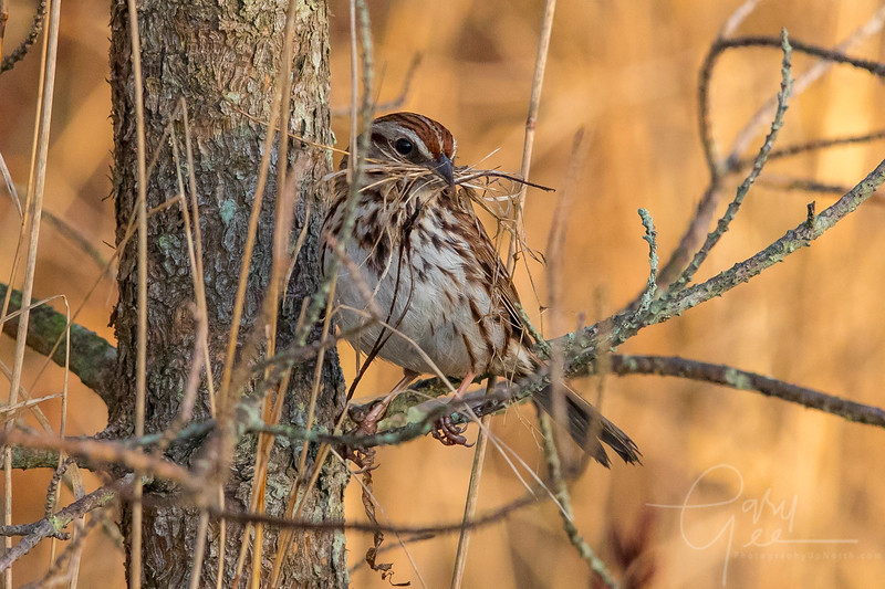 Song Sparrow Nest Building