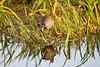 Purple gallinule, Everglades National Park