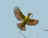 Nest building flycatcher
