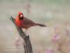 Male cardinal,  Kerrville, Texas