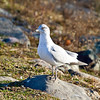 Ring-billed Gull, Walnut St., West Bridgewater, MA
