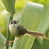 Yellow bellied prinia singing