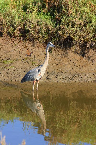 Great Blue Heron At San Elijo Lagoon (Hydranassa tricolor)