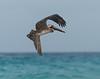 Brown pelican, Playa del Carmen, Quintana Roo