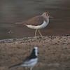 White Wagtail and Temmnick Stint