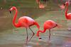 Lesser Flamingo (Phoeniconalas minor) captive