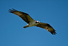 Osprey, from Anhinga Trail Everglades