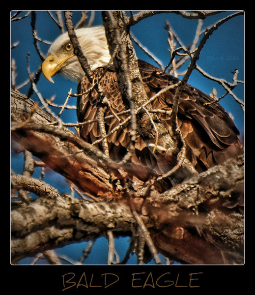 Bashful Bald Eagle<br /> <br /> Bad picture of uncooperative Bald Eagle...I was crawling around in a bunch of brush trying to get a picture of this big guy who was sitting way up in the top of the tree, camoflauged among all the small branches. I never could get a clear shot before he flew off but I'll be back!