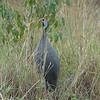 Helmetted Guinea-Fowl