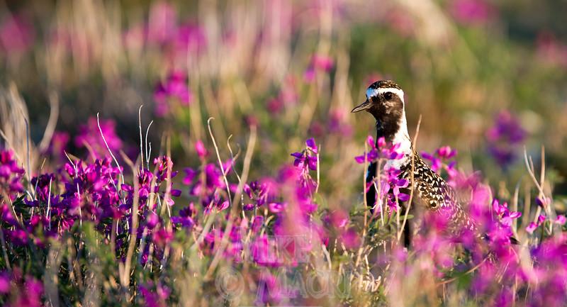 Golden Plover in purple vetch.