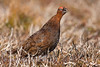 Red Grouse Calling in Heather