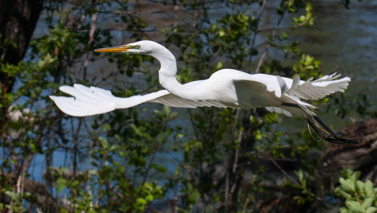 Flight of the white egret