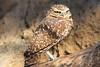 Western Burrowing Owl (Athene cunicularia hypugaea) caplive