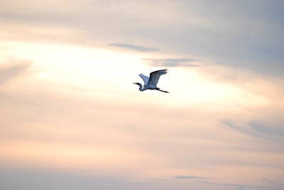 Great Egret in flight, Goose Island, Rockport TX