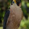 Taita Falcon - Falco fasciinucha