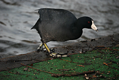 American Coot, Green Lake 2014