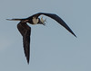 Frigate bird with a catch