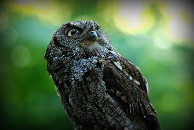 Western Screech Owl, Seattle