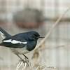 Oriental Megpie Robin