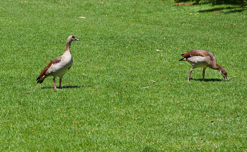 Nilgås - Egyptian Goose<br /> Cape Town, South-Africa<br /> <br /> <br /> .