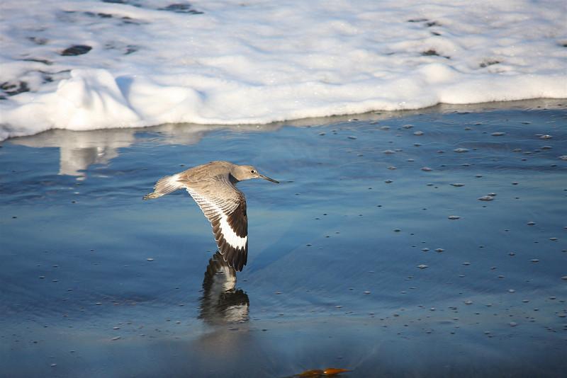 Willet Skimming The Beach (Catoptrophorus semipalmatus)