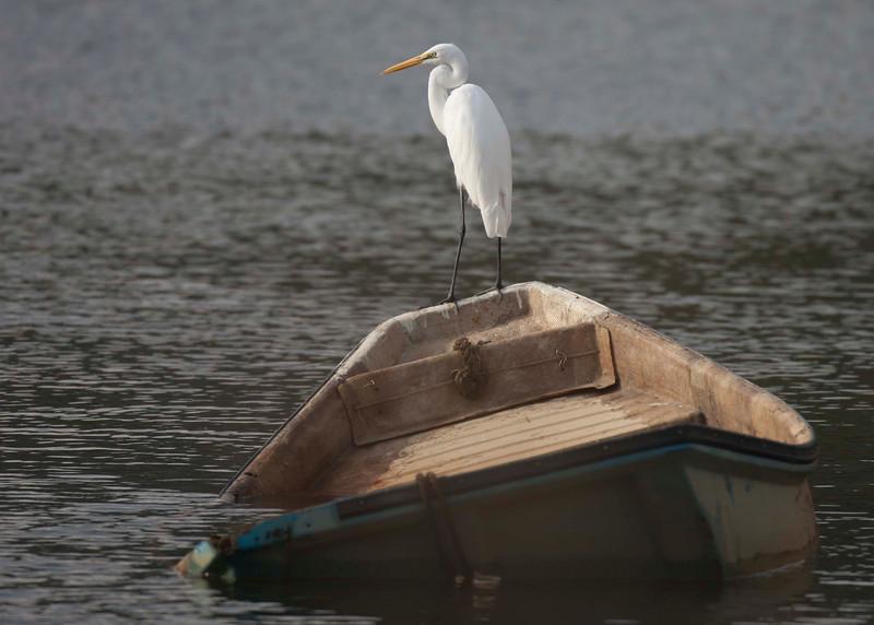 Medium Egret