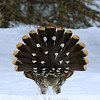 Spruce grouse courting display.
