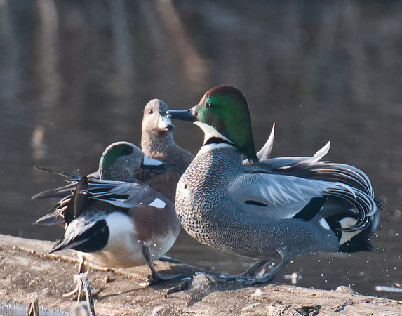 Falcated duck and wigeons