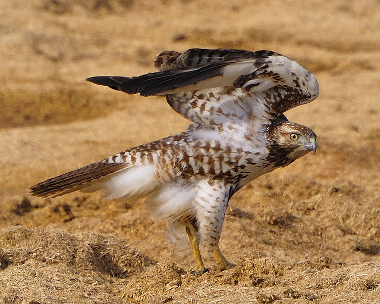 Marsh Hawk, Yuba County California