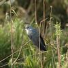 African Cuckoo - Cuculus gularis
