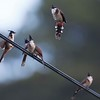 Red Vented Bulbuls playing