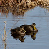 American Black Duck, Coweeset Brook, West Bridgewater, MA