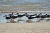 Black Skimmers, Tybee Island, GA