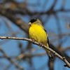 Lesser Goldfinch at Covington Park,Big Morongo,CA.