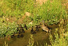 Female Wood Duck And Chicks (Aix sponsa)