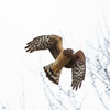 Northern Harrier, Burrage Pond, Halifax, MA