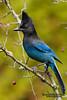 Steller's Jay (Cyanocitta stelleri).  A large, dark jay of evergreen forests in the mountainous West.  Стеллерова черноголовая голубая сойка.