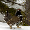Male  spruce grouse, courting