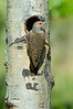 Northern Flicker Red-shafted Female _BGP1601