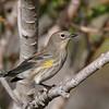 Yellow-rumped Warbler at Coachella Wildlife Preserve