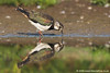 Lapwing with reflection
