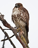 Light juvenile red tailed hawk