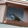 House Sparrow, Walnut St.,West Bridgewater, MA