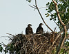 Bald eaglet twins