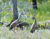 Nesting pair of Sandhill Cranes at Floating Island Lake, Yellowstone National Park